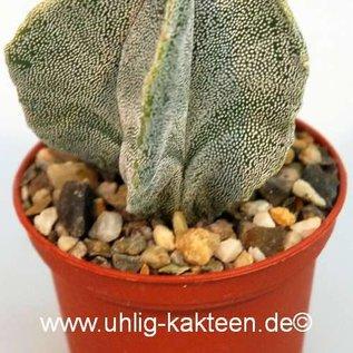 Astrophytum myriostigma  Hybr.