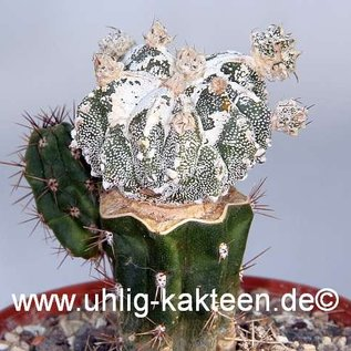 Astrophytum myriostigma  `Hanya Fukuryu` fa. polyfera  gepfr.