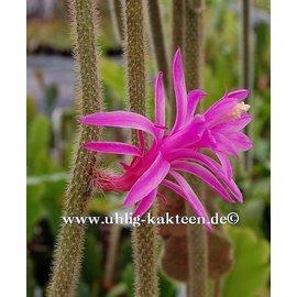 Disocactus flagelliformis   flagriformis`  (syn. Aporocactus flagriformis)