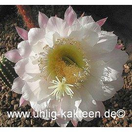 Echinopsis-Hybr. `Gräser`