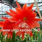 Epiphyllum-Hybr. `Gloriosum`