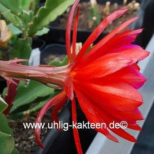 Epiphyllum-Hybr. Tiki Torch