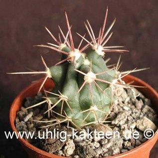 Ferocactus peninsulae X rectispinus   (Samen)