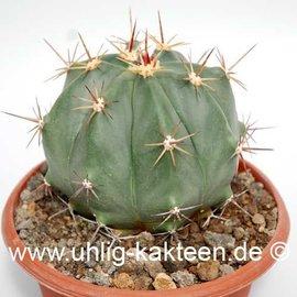 Ferocactus pottsii   (Semillas)
