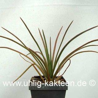 Agave geminiflora   (Semillas)