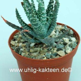 Aloe humilis  cv. Albamammillaris