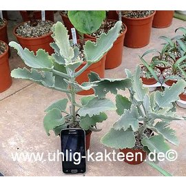 Kalanchoe beharensis  cv. Rose Leaf