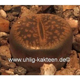 Lithops aucampiae v. aucampiae Kuruman form C 173