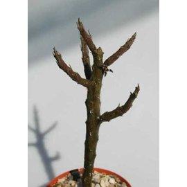 Rhytidocaulon macrolabum    Yemen, Saudi, schwarze Blüte