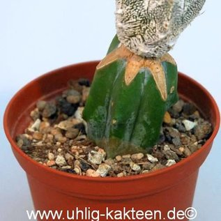 Astrophytum myriostigma  X `Onzuka` Hakuun  gepfr.