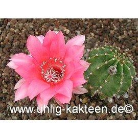 Echinopsis-Hybr. `Butterfly` Rheingold 249