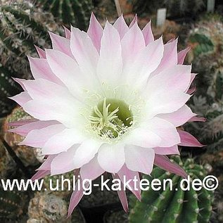 Echinopsis-Hybr. `Großmutter` Uebelm. 3200