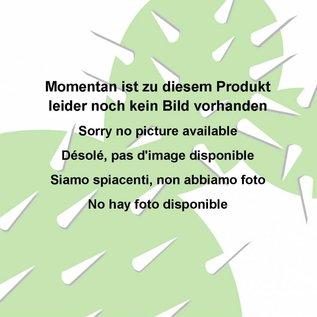 Echinopsis-Hybr. `Paramount E`