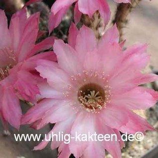 Echinopsis-Hybr. `Unschuld vom Lande` 2 Uebelmann 3217 ?