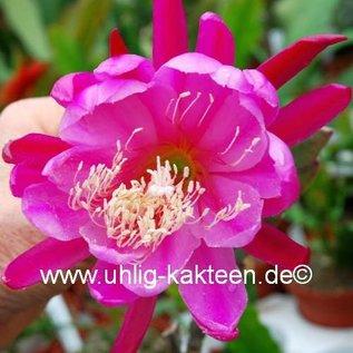 Epiphyllum-Hybr. Big Horn