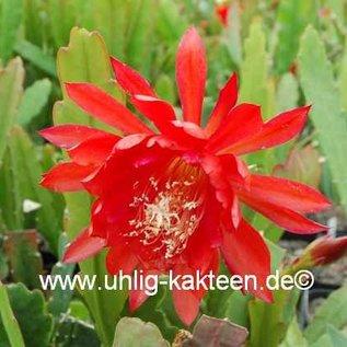 Epiphyllum-Hybr. `Flamgo`