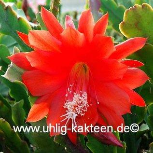 Epiphyllum-Hybr. orange