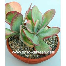 Kalanchoe thyrsiflora  variegata
