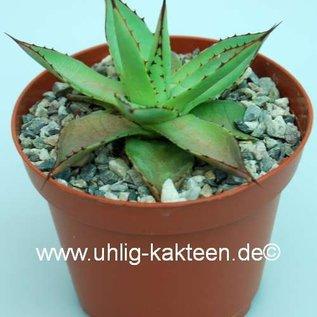 Agave isthmensis x filifera