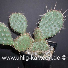 Opuntia macrorhiza fa. Crowford (dw) (Semillas)