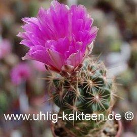 Thelocactus bicolor ssp. schwarzii  (Samen)