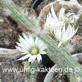 Wilcoxia albiflora   (Semillas)