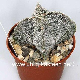 Astrophytum myriostigma quadricostata v. jamauvense quadricostata