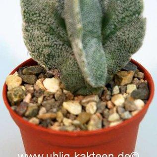 Astrophytum myriostigma  v. tulense quadricostata