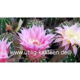 Echinopsis-Hybr. `Shirley`  Schick Hybride