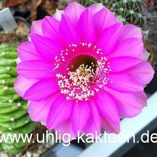 Echinopsis-Hybr. `Syncopation` Schick Hybride