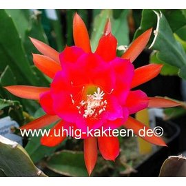 Epiphyllum-Hybr. `Edle von St Ommeln`
