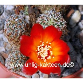 Sulcorebutia tarabucoensis  v. aureiflora