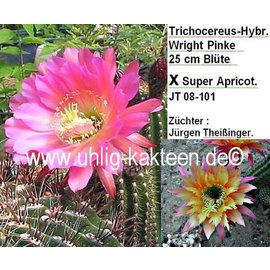 Trichocereus-Hybr. Wright Pinke 25 cm Blüte x Super Apricot    Züchter: Jürgen Theißinger, JT 08-101