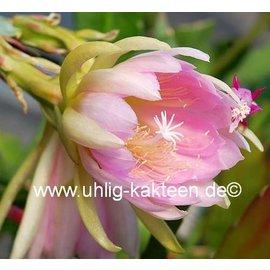 Epiphyllum-Hybr. Elektra
