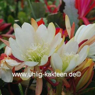 Epiphyllum-Hybr. Star Bright