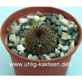 Frailea zapicanensis  v. rubrispina