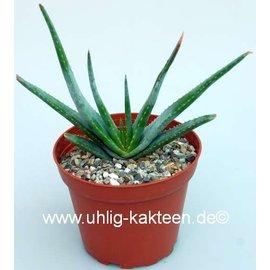 Aloe compressa      CITES
