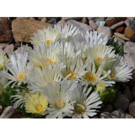 Malotigena frantiskae-niederlovae  cv. ´Albiflora´     (dw)