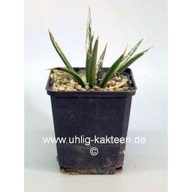 Agave toumeyana   ssp. bella Gila Co. AZ 1524m    (dw)