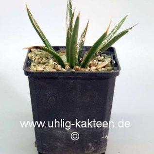 Agave toumeyana ssp. bella