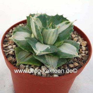 Agave potatorum  v. verschaffeltii cv. `Shoji Rajin` Mediopicta-Alba