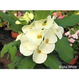 Euphorbia milii Grandiflora-Thai-Hybr. Blanco nupcial