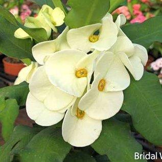 Euphorbia Grandiflora-Thai-Hybr.  ´Bridal White´ Züchtung. mit sehr großen Blüten, creme-weiß