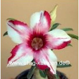 Adenium obesum  Cellona`   Blüte: weiß in pink übergehend mit rand und Mittelstreif