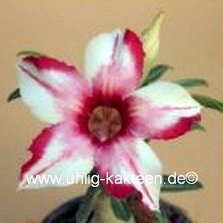 Adenium obesum  Cellona`  Blüte: weiß in pink übergehend mit rand und Mittelstreif gepfr.