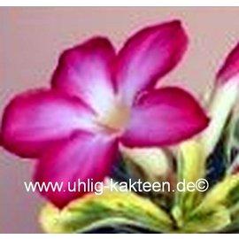 Adenium obesum  Milky Way`   Blüte: pink, Blätter variegat: grün-gelb-weiß marmoriert