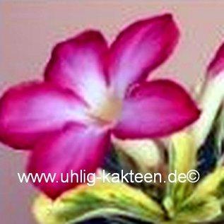 Adenium obesum  Milky Way`  Blüte: pink, Blätter variegat: grün-gelb-weiß marmoriert gepfr.