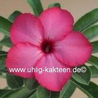 Adenium obesum  Miss India`  Blüte: kräftiges pink, rot umrandet, rote Mitte gepfr.