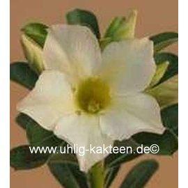 Adenium obesum  Vitoon`s White`  zur Zeit mit kulturbedingtem Rückschnitt /  currently with culture-related cut back gepfr.