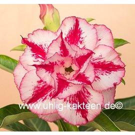 Adenium obesum  Taiwan June Double White-Pink`   Blüte: weiß, pink gestreift, und umrandet